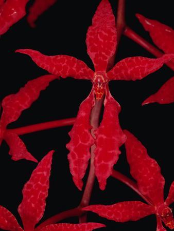 Beautiful Renanthera Orchid (Renanthera Bella) Endangered, Sabah, Borneo