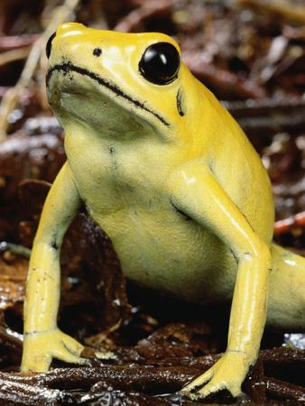 Golden Poison Dart Frog (Phyllobates Terribilis), the Most Poisonous of the Dart Frogs