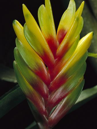 Bromeliad (Bromeliad Sp) Close-Up Detail, Atlantic Forest, Brazil