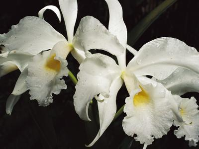 Orchid, Close-Up of White Flowers Wet with Rain, Atlantic Forest, Brazil