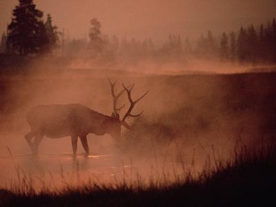 Elk or Wapiti (Cervus Elaphus) Feeding at Streamside with Smoke, Yellowstone, Wyoming