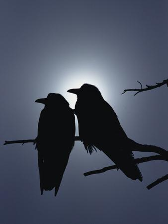 Raven (Corvus Corax) Pair Perching on a Branch, Backlit by Filtered Sunlight
