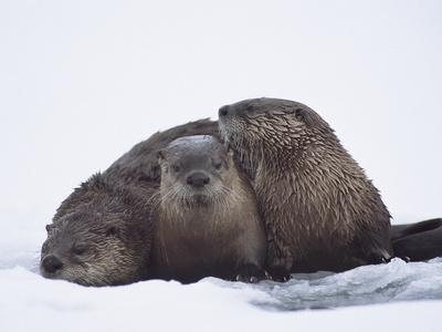 River Otter (Lutra Canadensis) Three in Snow, Western Montana