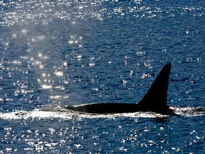 A Killer Whale's Dorsal Fin as it Swims at the Surface