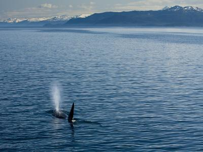 A Killer Whale Blows Water Out of its Blowhole in a Calm Strait