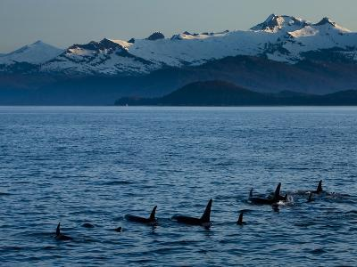 A Pod of Killer Whales Swims in a Mountain-Lined Strait