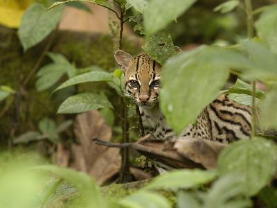Ocelot (Felis Pardalis) Peeking Through Leaves in the Amazon Rainforest, Ecuador