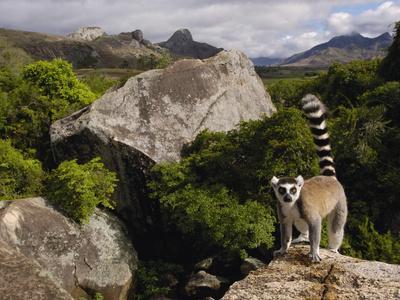 Ring-Tailed Lemur (Lemur Catta), Overlooking the Andringitra Mountains, Madagascar