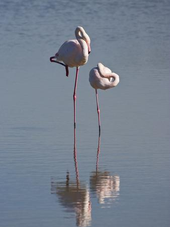 Greater Flamingo (Phoenicopterus Ruber) Pair Sleeping on One Leg, Camargue, France