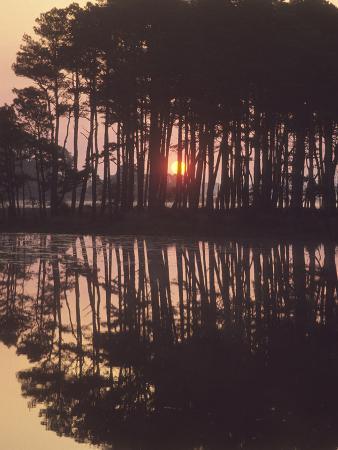 A Sunrise Seen Through Silhouetted Loblolly Pine Trees, Pinus Taeda