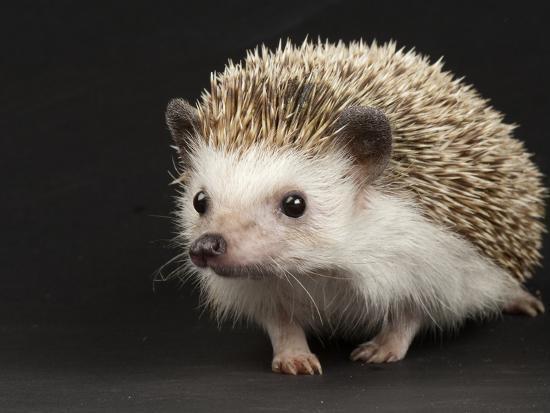 An African Pygmy Hedgehog, Atelerix Albiventris ...