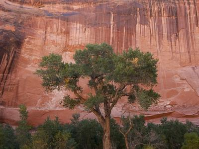 A Cottonwood Tree with a Touch of Autumn Color under a Sandstone Wall
