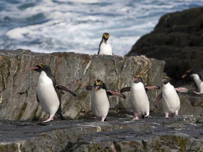 Macaroni Penguins, Eudyptes Chrysolophus, Walking on Rocks by the Sea