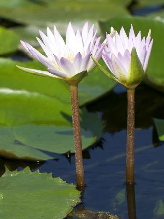 Tropical Water Lilies, Nymphaea Species, Growing in a Thermal Pond