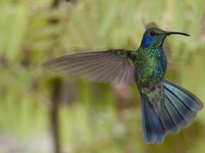 Portrait of a Green Violet-Ear Hummingbird, Colibri Thalassinus