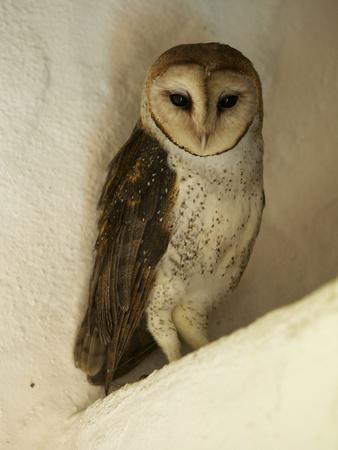 A Portrait of a Barn Owl, Tyto Alba, Roosting in a Building