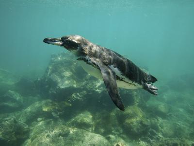 Underwater View of Galapagos Penguin, Spheniscus Mendiculus, Swimming