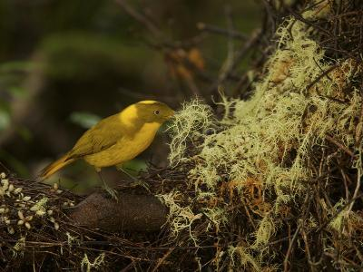 A Golden Bowerbird Male Places a Clump of Lichen at His Bower