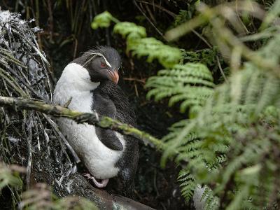 A Rockhopper Penguin on Rugged Island