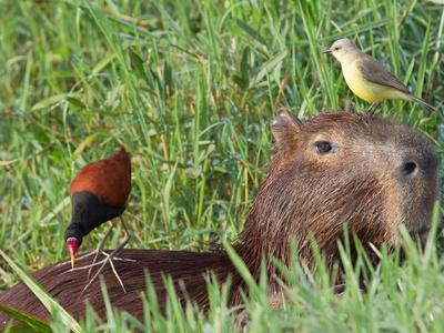 Wattled Jacana and Another Bird Perched on a Capybara