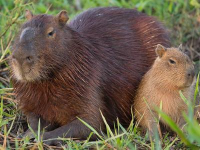 Portrait of Two Capybaras, Hydrochoerus Hydrochoeris