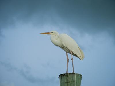 An Egret on a Pier in Key Largo, Florida