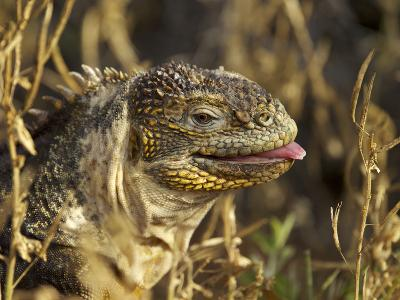 Galapagos Land Iguana, Conolophus Subcristatus, Sticking Toungue Out