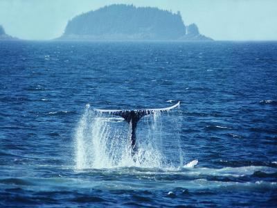 A Humpback Whale Sounding, Showing it's Tail