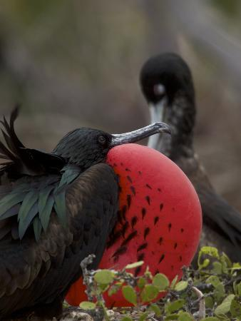 Male Great Frigatebird, Fregata Minor, with His Red Sac Inflated