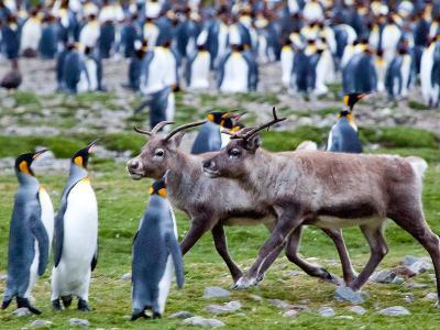 Reindeer Walk Among the King Penguins at Fortuna Bay
