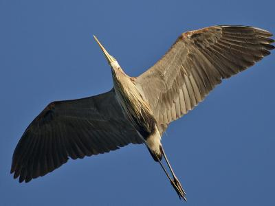 A Great Blue Heron in Flight over the Occoquan River