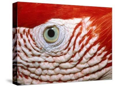 Eye of scarlet macaw