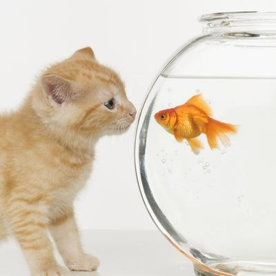 Kitten and Goldfish Looking at Each Other