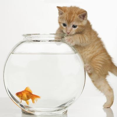 Kitten trying to get at a goldfish