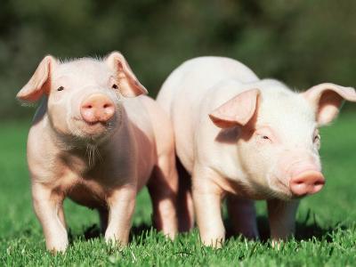 Two piglets in a field