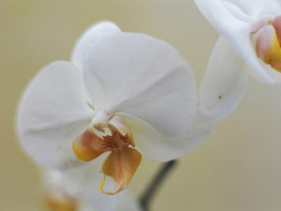 White orchid, close-up