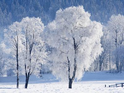 Austria, Salzburger Land, Trees in snow