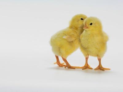 Yellow Chicks Baby Chickens