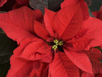 Closeup of poinsettia flower