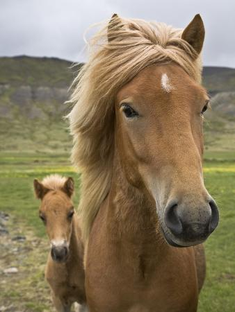 Horses, mare and colt, near Husafell, West Iceland