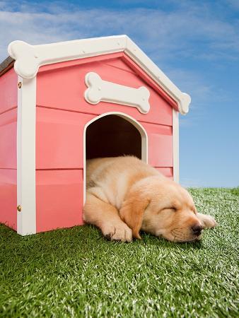 Labrador puppy asleep in kennel