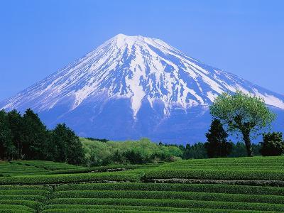 Green Tea Field and Mount Fuji