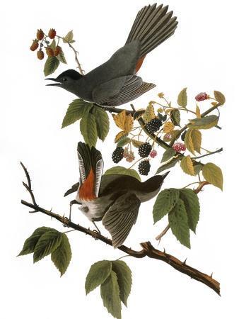 Audubon: Catbird, 1827-38