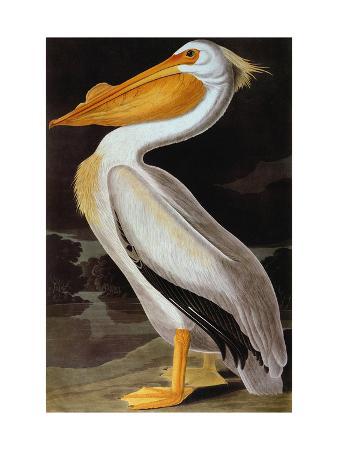 Audubon: Pelican