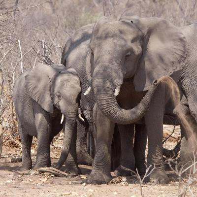 Mother and Baby Elephant Preparing for a Dust Bath, Chobe National Park, Botswana