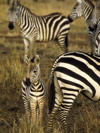 Group of Burchell's Zebra at Waterhole, Masai Mara Conservancy, Kenya