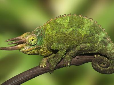 Close-Up of Jackson's Chameleon on Limb, Kenya