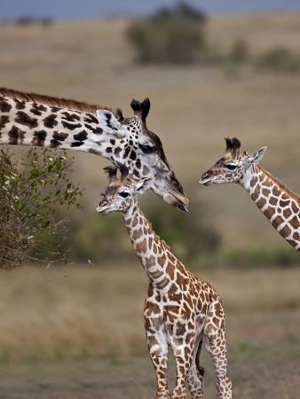 Maasai Giraffe, Masai Mara, Kenya