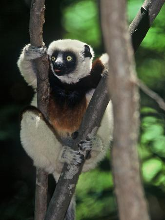 Propithecus Sifaka Lemur, Madagascar