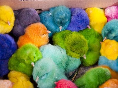Little Colorful Chicks to Sell as Pets for Easter, Fes, Morocco